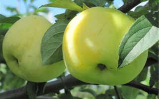 Описание яблоневого сорта Антоновка, его основные характеристики