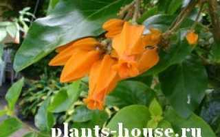 Хуануллоа: описание цветка, правила ухода в домашних условиях