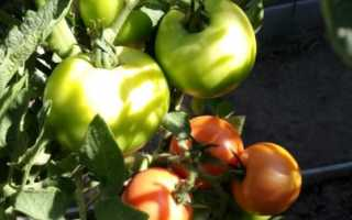 Уход за помидорами в августе в период созревания плодов