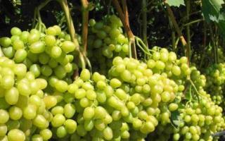 Виноград Аркадия – особенности сорта, посадка и уход