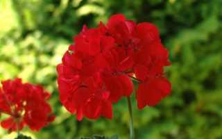 Пеларгония ампельная – уход, выращивание +10 фото сорта