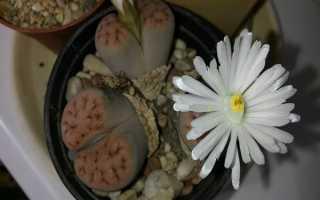 """Лапидария Маргарет – характеристика """"каменной розы"""". Фото и видео"""