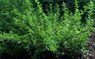 Крыжовник грушенька: ТОП советов по выращиванию+описание сорта