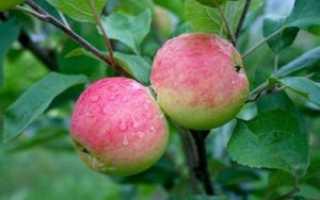 Яблоня Мантет: выращивание, уход, подкормка, обрезка. Отзывы.