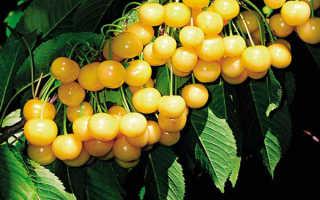 Сорт желтая вишня – описание сорта, самые популярные сорта +фото