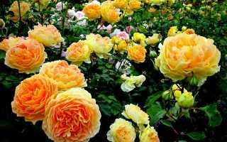 Уход за розами осенью – подготовка к зиме, обрезка