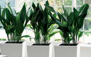 Тенелюбивые комнатные растения – фото и описание разновидностей