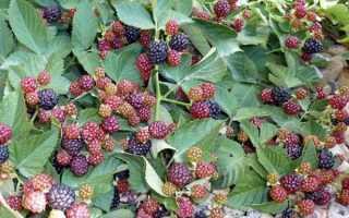 Ежевика Апачи: описание, выращивание и уход + фото и отзывы