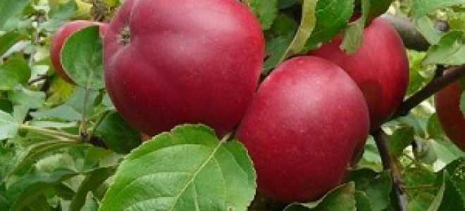 Яблоня Веньяминовское: описание сорта, посадка, уход и отзывы