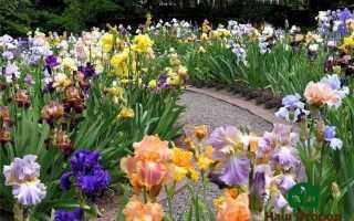 Ирисы на огороде: как ухаживать весной и летом