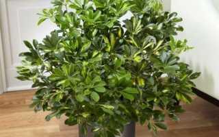 Шефлера: описание, выращивание и уход в домашних условиях