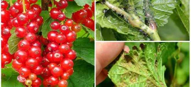 Тля и муравьи на смородине – как избавиться, спасти и чем обработать