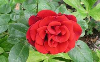 Сантана – описание сорта плетистой розы. Посадка и уход