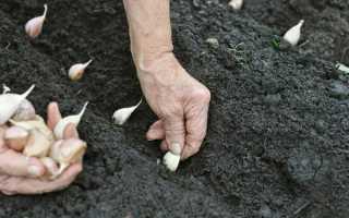 Как вырастить чеснок правильно в открытом грунте + видео