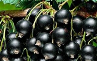 Смородина в саду : как вырастить правильно?