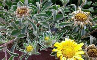Астерискус травянистые растения для открытого грунта + 20 фото