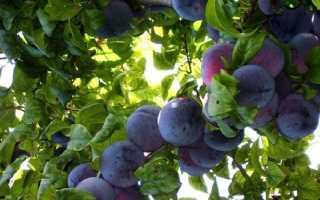 Слива Ангелина деревце: описание сорта, фото, отзывы
