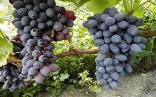 Виноград Юпитер – харктеристика сорта. История появления