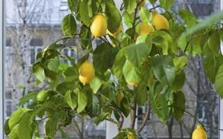 Лимон:Выращиваем экзотический фрукт на подоконнике