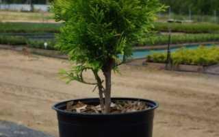 Туя Мириам: описание сорта, выращивание, уход, фото и отзывы