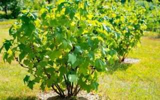 Смородина – выращивание на дачном участке, тонкости и нюансы