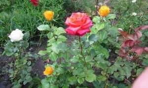 Керио – описание сорта розы. Правила посадки и ухода
