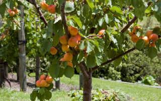 Абрикосовое дерево: как сажать и ухаживать для богатого урожая!
