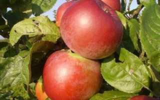 Яблоня Арбат – анализ и описание яблоневого дерева