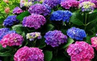 Чем подкормить гортензию для роста весной и летом