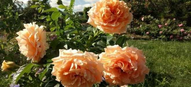 """Роза """"Полька"""": посадка и уход + подготовка растения к зиме"""