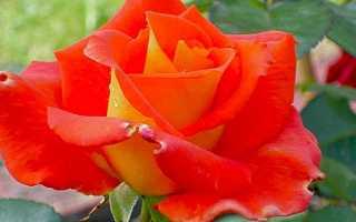 Роза Моника: описание сорта и правильный уход