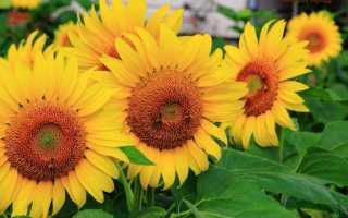 Подсолнух: секреты выращивания садового цветка
