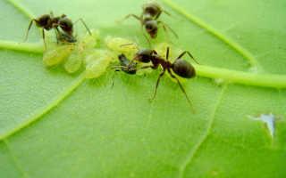 Борьба с муравьями на плодовых деревьях: способы
