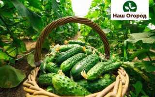 Огурцы на даче: секреты посадки и выращивания