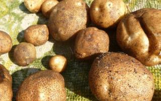 Картофель Киви: описание сорта, посев, уход, уборка