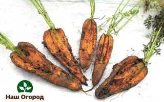 Скручивание моркови и растрескивание: главные причины и методы борьбы