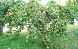 Выращивание абрикосов в средней полосе, зимнестойкие сорта и уход