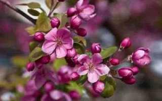 Яблоня Хелена: описание, выращивание и уход, отзывы и фото
