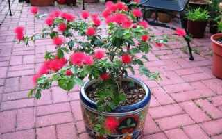 Каллиандра: описание растения, выращивание и уход + фото цветка