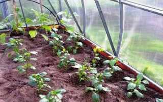 Посадка перца в поликарбонатной теплице– основные схемы