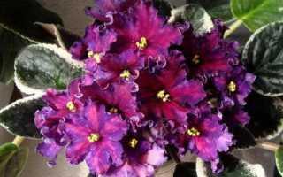 Фиалка Южная ночь: описание, выращивание и уход + фото