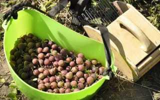 Сбор крыжовника – время сбора урожая, приспособление
