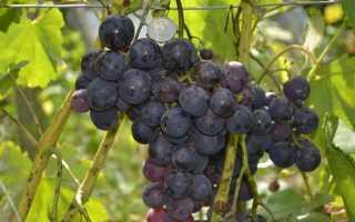 Виноград Рошфор: описание сорта, фото и отзывы