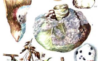 Гниение чеснока – причины появления и борьба с недугом