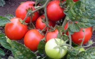 Красная Шапочка – штамбовый сорт помидор. Описание