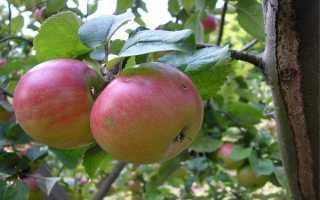 Яблоня Строевское : описание, фото, секреты выращивания сорта