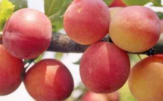 Слива «Россошанская Крупноплодная»: описание и особенности сорта