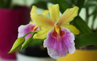 Мильтония – разновидность орхидеи. Описание и сорта