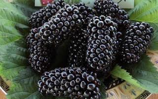 Ежевика Коламбия Стар: описание, выращивание, видео и фото