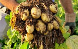 Картофель Королева Анна: характеристика и описание